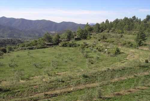 Ovejas listas para entrar a los pastos bajo los olivos