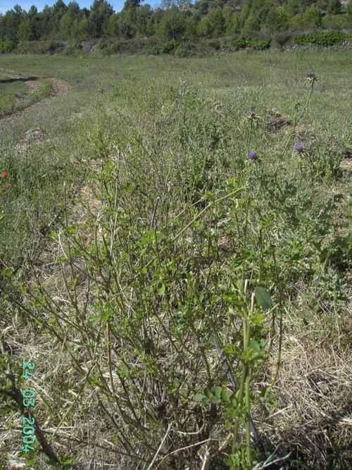 Setos de colutea brotando después de ser desfoliadas por ovejas