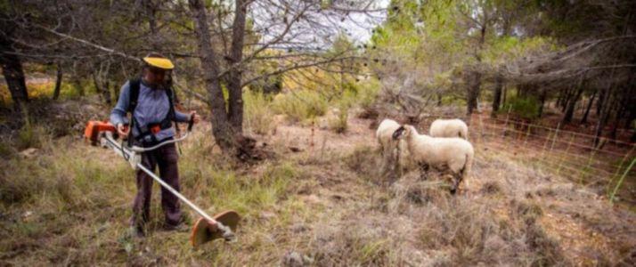 limpieza con ovejas y desbrozadora