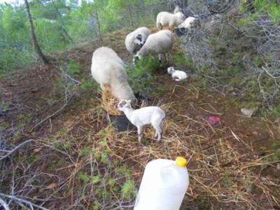 Ovejas colaborando en la regeneración del bosque