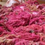 cosecha amaranto, secar y desgranar
